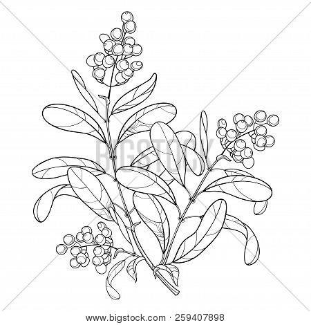 Vector Branch With Outline Poisonous Plant Privet Or Ligustrum. Fruit Bunch, Berry And Ornate Leaf I