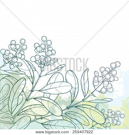 Vector Branch With Outline Poisonous Plant Privet Or Ligustrum. Berry Bunch And Ornate Leaf In Paste