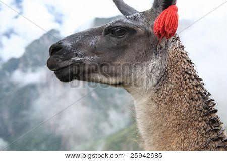 Close up of llama at the ruin of Machu Picchu.