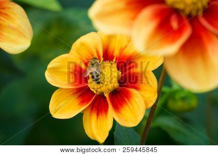 Close-up Of A Bee On A Red-yellow Colored Dahlia (mignondahlie Sunshine) Flower On A Green Natural B