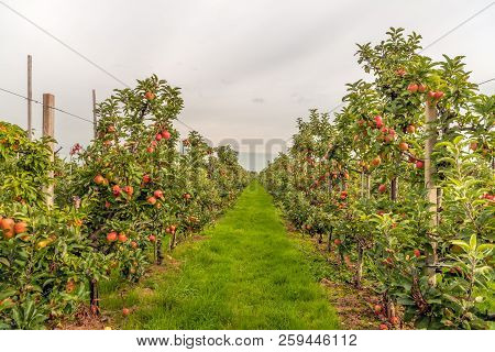 Espaliered Fruit Trees With Harvest Ripe Red Apples In A Modern Dutch Apple Orchard At The End Of Th