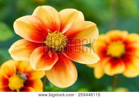 Close-up Of A Beautiful Red-yellow Colored Dahlia (mignondahlie Sunshine) Flower In Late Summer.
