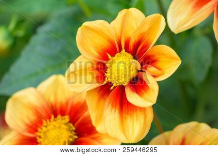Close-up Of A Red-yellow Colored Dahlia (mignondahlie Sunshine) Flower In The Morning Light.