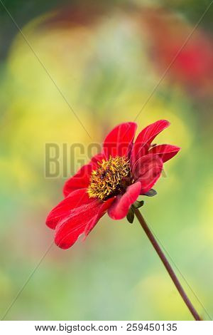 Close-up Of A Red Dahlia (bishop Of Auckland) Flower In Late Summer.  Side View Of A Deep Purple Dah