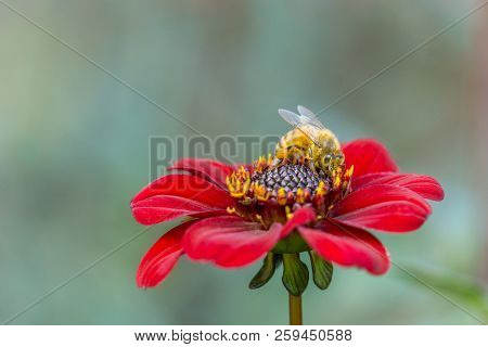 Close-up Of A Honey Bee On A Deep Purple Colored Dahlia (bishop Of Auckland) Flower In Late Summer.