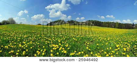 Beautiful spring panoramic shot with a dandelion meadow