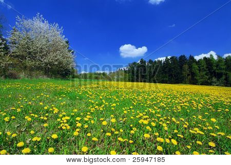 Beautiful spring landscape with blooming yellow dandelions and cherry tree