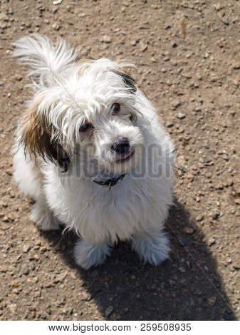 The Puppy Looks At The Camera - A Top View. A Small Dog. Puppy Of Chinese Crested Dog.