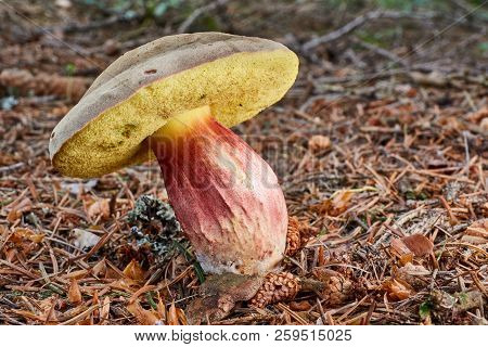 Xerocomellus Chrysenteron, Fungus