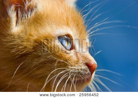 Fluffy red kitten with blue eyes looking at something