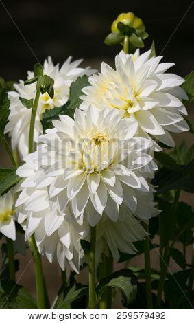 Beautiful White Colored Dahlia Flower In A Natural Garden Environment