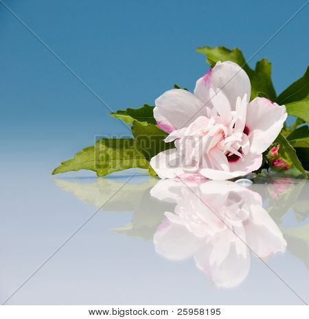Beautiful light pink Althea flower with reflection against blue sky