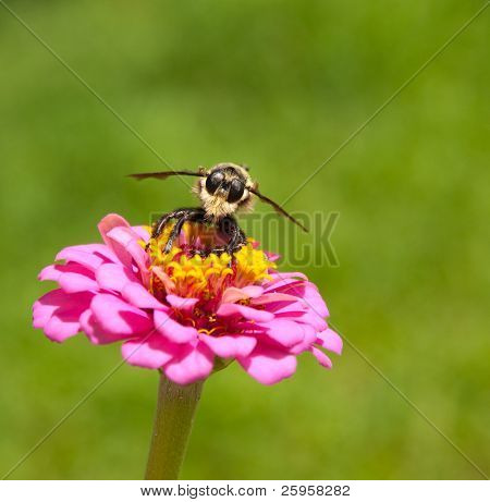 Bee hunter perched on a Zinnia poster