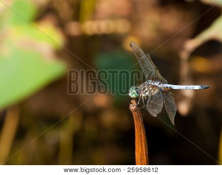 Swift long-winged skimmer perching on a dried stem