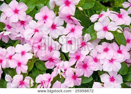 Colorful Impatiens Flowers