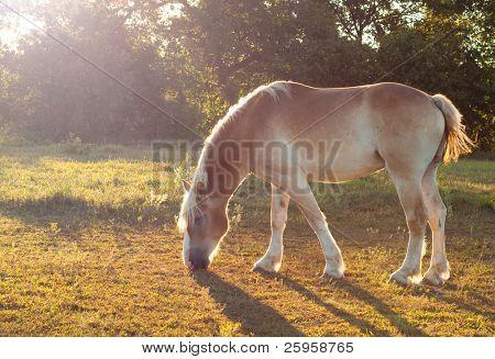 Beautiful Belgian Draft horse grazing in morning sun poster