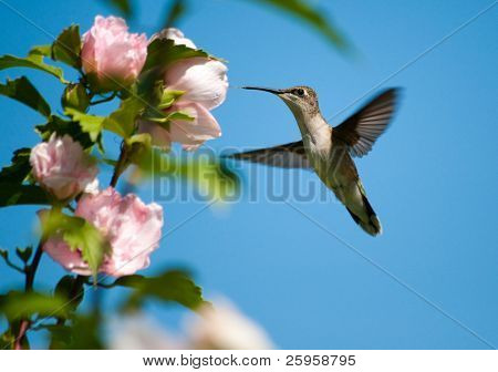 Ruby-throated Hummingbird feeding on a light pink Hibiscus