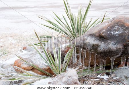 Plains Yucca, Yucca glauca, covered in thick layer of ice in a red sandstone rock garden after an ice storm