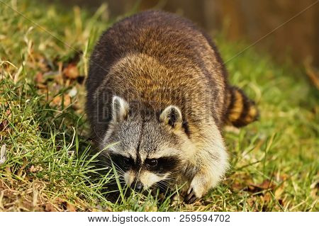 Raccoon (procyon Lotor) On The Meadow ,evening On The Meadow Looking For Food.wildlife Scene From So