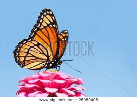 Brilliant Viceroy butterfly feeding on a bright pink Zinnia against blue skies