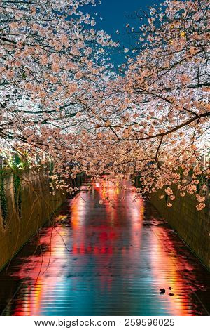Cherry blossom season in Tokyo at Meguro river, Japan