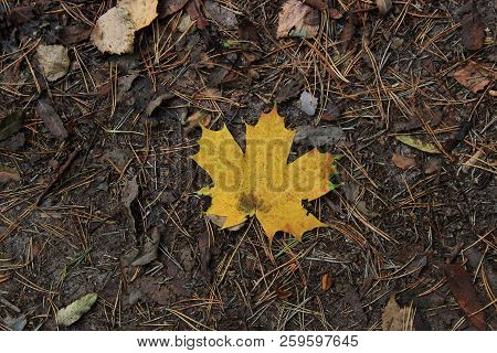 The dry yellow leaf on the road. Brown background of yellow maple leaves. Yellow maple leaves under my feet. Yellow maple leaves on the road. Fallen leaves. Golden autumn. Walk in autumn Park. The background of yellow maple dry autumn leaves