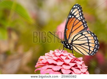 Ventral view of a colorful Viceroy butterfly feeding on a pink Zinnia against green background