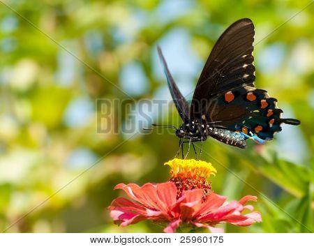 Green Swallowtail, Battus philenor butterfly feeding in a garden