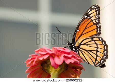 Vizekönig Schmetterling Fütterung auf eine rosa Blume