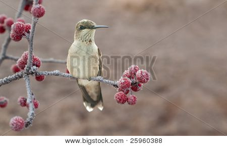 Lonesome, cold juvenile male Hummingbird on a frosty branch with red berries - wishing to be home for Christmas