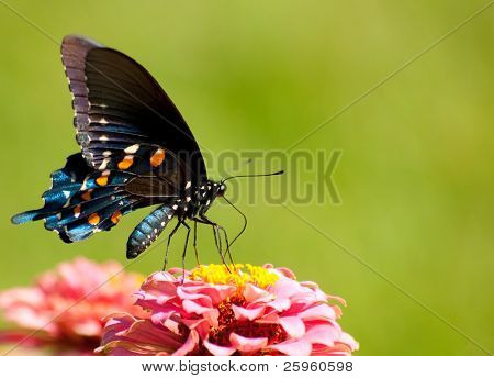 Beautiful iridescent blue Pipevine Swallowtail butterfly feeding on a pink flower