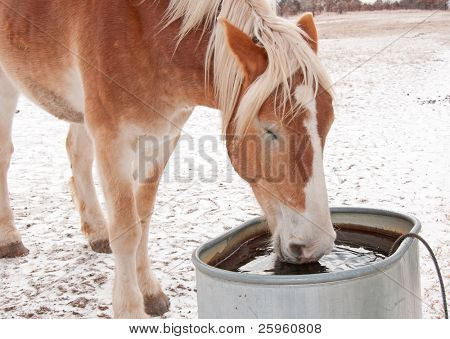 Belgian Draft horse drinking water from a water trough on a cold winter day