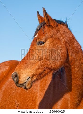 Profile of a beautiful red bay Arabian horse against clear blue sky