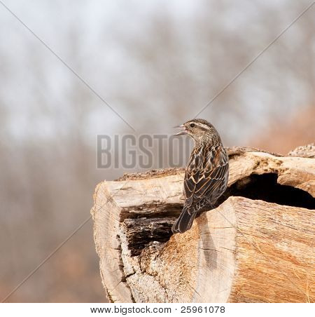 Female Red-winged Blackbird, Agelaius phoeniceus, perched on a log