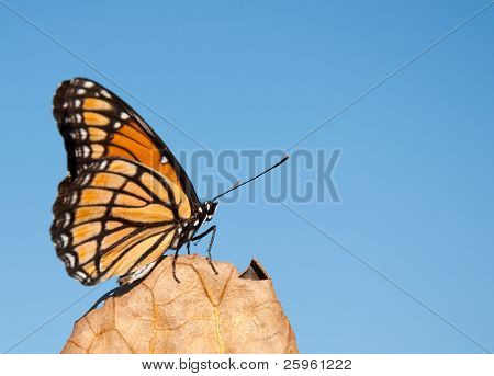 Boldly colored Viceroy butterfly resting on a dry leaf against clear blue sky