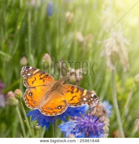 American Painted Lady butterfly on blue Bachelor Button flower poster