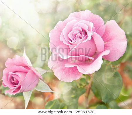Dreamy image of a beautiful pink rose in the garden poster