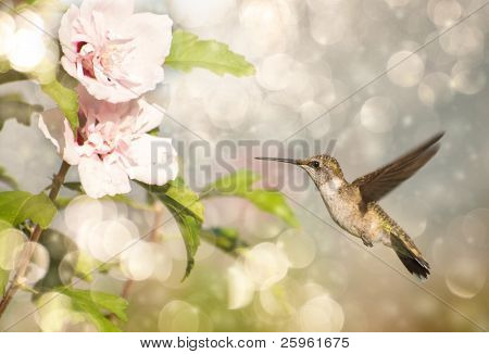 Dreamy image of a Ruby-throated Hummingbird hovering close to a Hibiscus flower