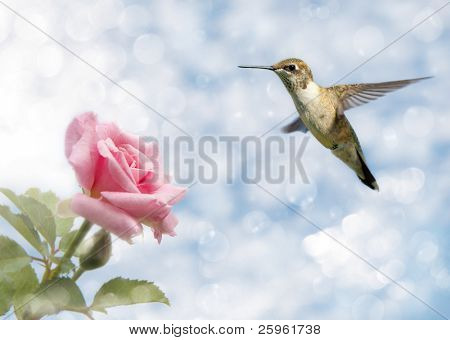 Dreamy image of a Hummingbird hovering close to a Rose