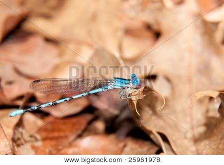 Short-stalked Damselfly, Argia, resting on a dead dry leaf in sunshine poster