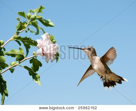 Hummingbird hovering against clear blue sky