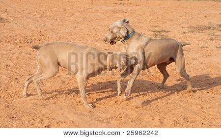 Two Weimaraner dogs playing and having fun poster