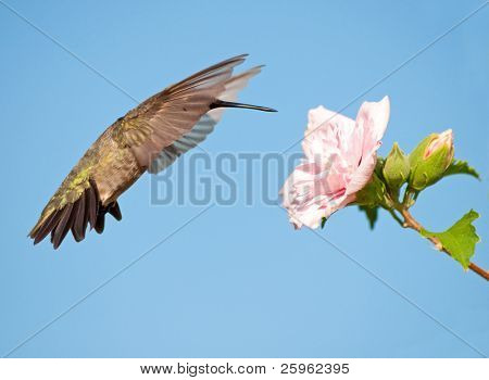 Hummingbird getting ready to feed, hovering with wings extended far forward