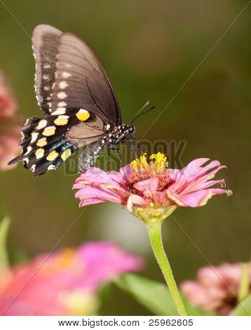 Green Swallowtail butterfly feeding on pink Zinnia in garden