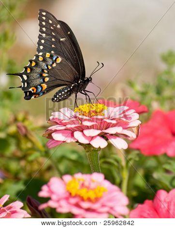 Beautiful Eastern Black Swallowtail butterfly in garden poster