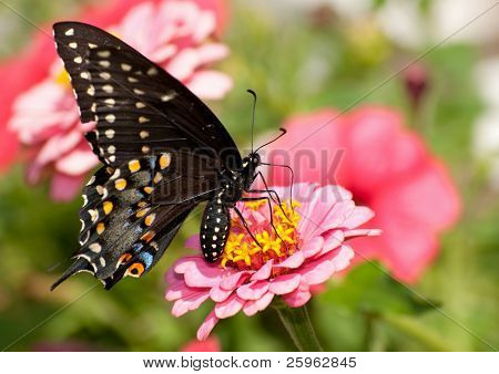 Ventral view of an Eastern Black Swallowtail in a garden