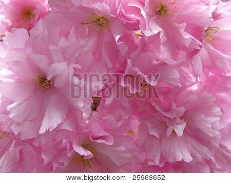 Prunus yedoensis or Japanese cherry-tree close-up