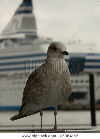 Seagul in front of Cruise liner in Helsinki harbour, Finland.