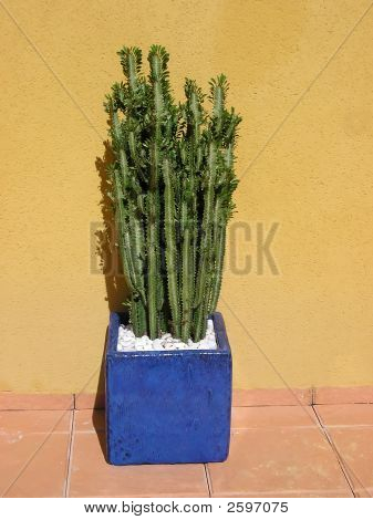 Cactus suculent. Plant in blue pott against the wall. poster