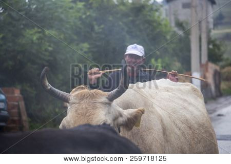 Bukovo, Bulgaria - July 07, 2018: Unidentified Cowherd Behind A Herd Of Cows On A Rainy July Day In